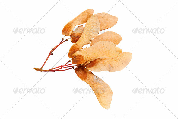 brown seeds of maple tree - Stock Photo - Images