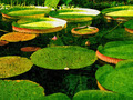 Giant Water Lilies - PhotoDune Item for Sale