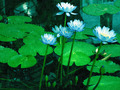 Blue Water Lilies - PhotoDune Item for Sale