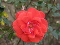 Red Rose in Garden - PhotoDune Item for Sale