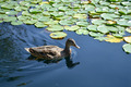Swimming Duck - PhotoDune Item for Sale