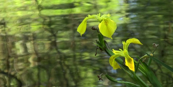 Wild Yellow Iris HD