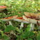 Colony of Red Fly Agaric Mushrooms - VideoHive Item for Sale
