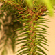 Araucaria (Araucaria Heterophylla) - VideoHive Item for Sale