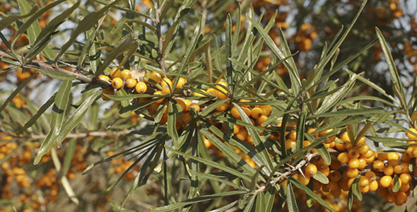 Ripe Sea Buckthorn