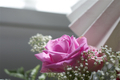 Lonely pink rose wathing out of the window - PhotoDune Item for Sale