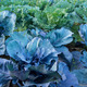 cabbage - PhotoDune Item for Sale