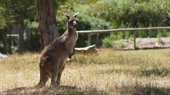 Old Kangaroo
