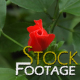 Flowers 5 FullHD Stock Footage H264 - VideoHive Item for Sale