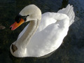 Swan on Pond with Leaf Heart - PhotoDune Item for Sale