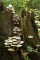 mushrooms on the tree stump - PhotoDune Item for Sale