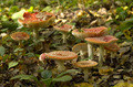 group of red fly agaric mushrooms  - PhotoDune Item for Sale