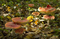 group of red fly agaric  - PhotoDune Item for Sale