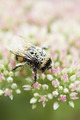 Pollen Covered Bee On Sedum Flower Head - PhotoDune Item for Sale