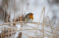 European Robin - PhotoDune Item for Sale