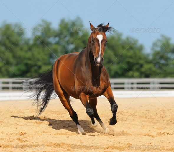 Trakehner red-bay color stallion in motion on arena - Stock Photo - Images
