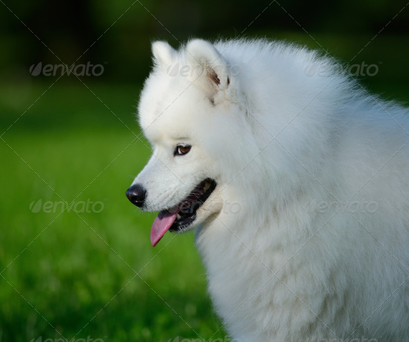 Portrait of samoyed dog on nature background - Stock Photo - Images