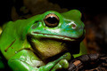 Green tree frog - PhotoDune Item for Sale