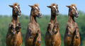 Four rear sorrel highland ponies on nature background - PhotoDune Item for Sale
