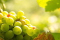 green grapes in sunset light - PhotoDune Item for Sale