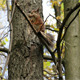 Squirrel Collects the Tree Bark for its Hollow - VideoHive Item for Sale