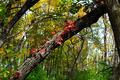 Fall Colored Ivy on Tree Landscape - PhotoDune Item for Sale