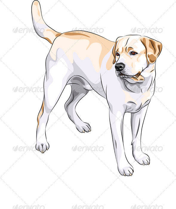 Yellow Gun Dog Breed Labrador Retriever - Animals Characters