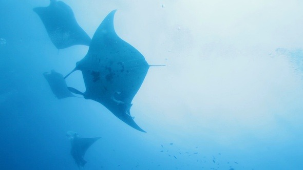 Manta Rays Swimming in Ocean Blue Maldives