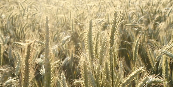 [VideoHive 329312] Wheat Field | Stock Footage