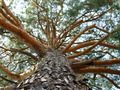 large pine tree - PhotoDune Item for Sale