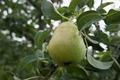 Pear - PhotoDune Item for Sale
