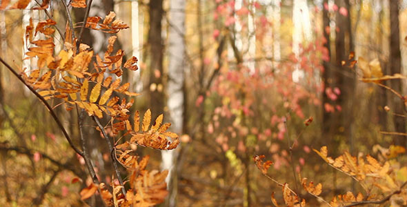 Autumn Yellow Falling Leaves