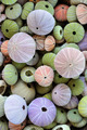 Collection of colorful sea urchin shells - PhotoDune Item for Sale