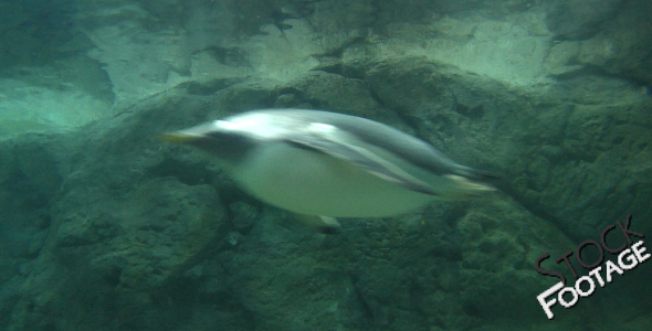 Penguins 4 Full HD Stock Footage