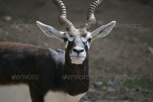Male Blackbuck - Stock Photo - Images