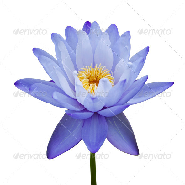 Blue Water Lily - Stock Photo - Images