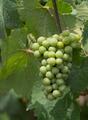 Green Grape - PhotoDune Item for Sale