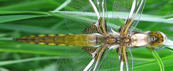 Libelle%20flach%20kopie