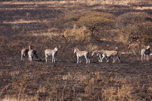 Dazzle Of Zebra On Burnt Savanna
