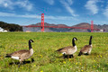 gooses and Golden Gate Bridge