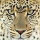 Cheetah-avithf