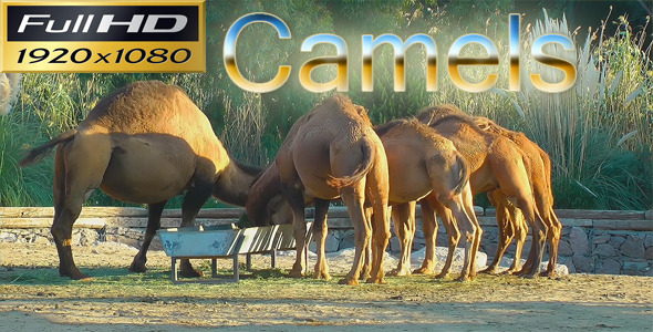 Camels In The Zoo Nature