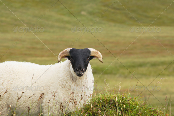 Single blackhead sheep - Stock Photo - Images
