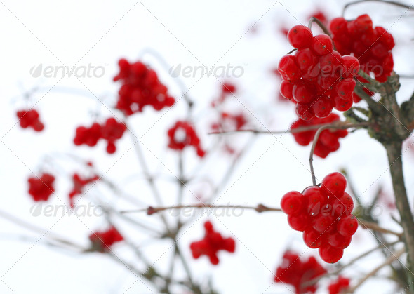 Close-up of red viburnum berries covered with snow - Stock Photo - Images
