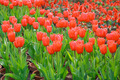Potted red tulips field in garden - PhotoDune Item for Sale