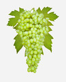 Bunch of ripe grapes on a white background - PhotoDune Item for Sale