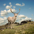 Stag Deer - PhotoDune Item for Sale