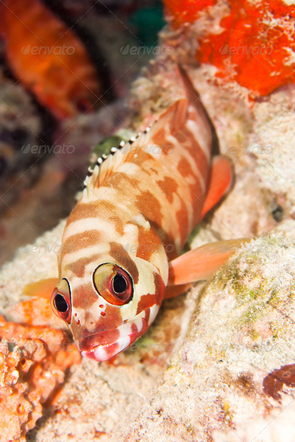 The Hawkfish - Stock Photo - Images