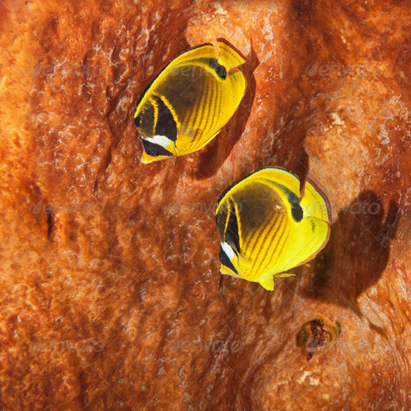 The raccoon butterflyfish - Stock Photo - Images