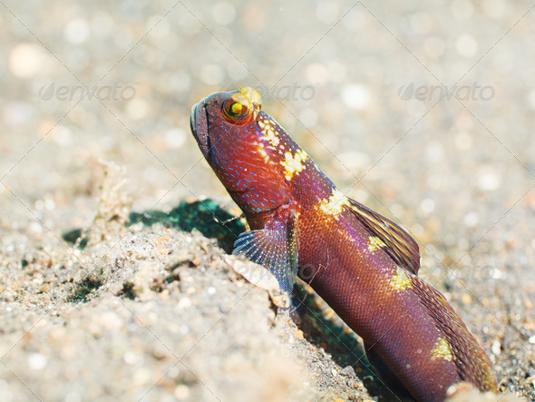Tropical fish Goby - Stock Photo - Images